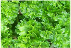 Kräuter-Steckbrief Petersilie (Petroselinum crispum) - Eigenschaften und Verwendung
