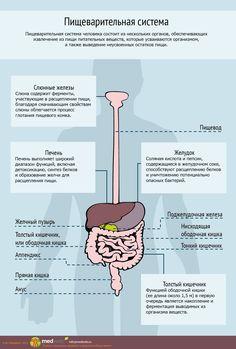MedWeb - Пищеварительная система