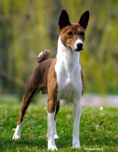 Get Your Dog Trained Today With These Simple Tips. Training your dog is important for an obedient relationship between you and your canine friend. During the training process, you and your dog will experien Basenji Puppy, Animals And Pets, Cute Animals, Yorkshire Terrier Puppies, Hunting Dogs, Beautiful Dogs, Mans Best Friend, Belle Photo, Dog Pictures