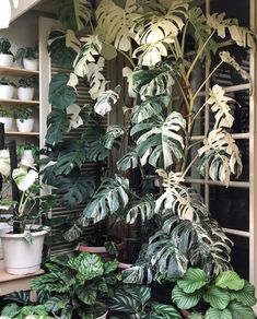 has us star struck over this gorgeous Monstera Variegata! Extra shots of coffee this morning, please! Rare Plants, Exotic Plants, Tropical Plants, Amazing Gardens, Beautiful Gardens, Planting Succulents, Planting Flowers, Sansevieria Plant, Plants Are Friends