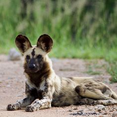 Wilddog by Isabel Display Advertising, Print Advertising, Marketing And Advertising, Kruger National Park, National Parks, Retail Merchandising, Wild Dogs, Us Images, Wall Art Prints