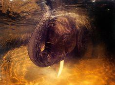 David Doubilet ~ An African elephant cleaning its tusks in the Okavango Delta. Botswana.