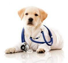 Go straight to canine distemper natural treatments:What To Do | Herbal | Homeopathy | Nutritional | Other Home Remedies What is Canine Distemper? Canine distemper is a highly contagious viral disease that affects the gastrointestinal, respiratory and nervous systems of puppies and dogs. This virus also infects other wild animals such as foxes, raccoons, skunks, wolves, coyotes and ferrets. It is very important that you keep your dogs away from other wildlife to avoid the virus from…