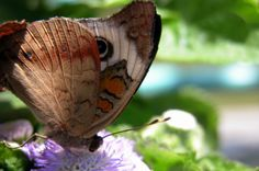 Despite the name, the vivid eyespots ensure the Common Buckeye is anything but ordinary. Learn more about attracting butterflies like this one to your yard