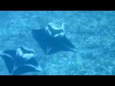 Manta Ray Danza de acoplamiento en el mar