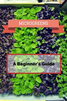 How to Grow Microgreens: A Beginner's 101 Guide