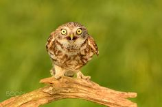 Little Owl by Erik Müller - Photo 163316077 - Owl Species, Owl Pet, Owl Crafts, Little Owl, Baby Owls, Animals And Pets, Birds, Pictures, Stuffed Owl