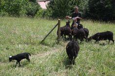 Unsere Krainer Steinschafe Animals, Sheep, Stones, Animales, Animaux, Animal, Animais