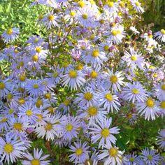 Aster ageratoides Eleven Purple