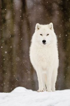 Beautiful white wolf in the snow