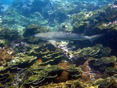 Black Tip #Shark, Koh Phi Phi, #Thailand
