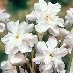 Daffodil poeticus - the Poet's Daffodil - Daffodil Bulbs - Van Meuwen
