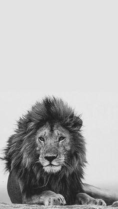 Lion Lockscreen Wild Animal Wallpaper, Lion Wallpaper, Lion Images, Lion Pictures, Lion King Art, Lion Art, Lion Tigre, Lion Photography, Lion Head Tattoos