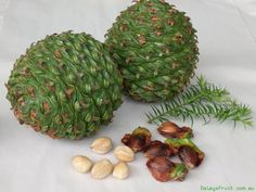 Bunya Nut  More information can be viewed @ http://www.daleysfruit.com.au/buy/araucaria-bidwilli-bunya-nut-tree.htm
