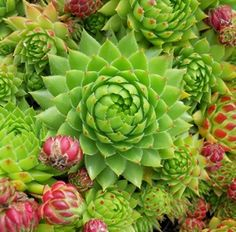 SMG Succulents- the place to buy hardy Sedum, Sempervivum, and Jovibarba for your garden, patio, or balcony. These tough little succulents will delight you with their astounding range of color, texture, and durability in your landscape.