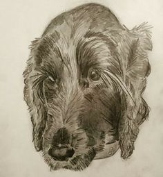 Cocker spaniel pet sketch - Maya dog portrait, pencil sketch; CVale