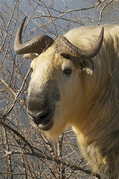 Golden Takin   (Budorcas taxicolor tibetana)...It is an endangered goat-antelope native to the Peoples Republic of China & Bhutan.They inhabit Himalayan Mountain regions.