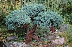 """Juniperus squamata """"Blue Star"""""""