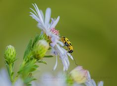 Another interesting critter found on my many Aster wildflowers was this small beetle. Fall brings lots of different critters to the wildflowers and this colorful little beetle was enjoying himself … | Show Me Nature Photography