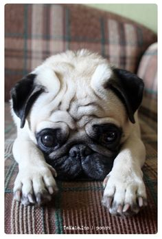 P.S. I love you. Your Pug.