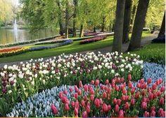 Campo de tulipanes - Holanda
