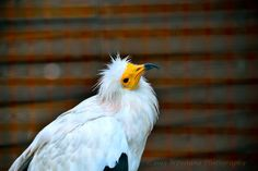 Capovaccaio Photo by Welbis Pestana -- National Geographic Your Shot National Geographic Photos, Your Shot, My Animal, Amazing Photography, Wildlife, Shots, Animals, Action, Birds