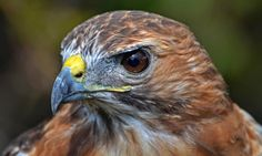 Red Tailed Hawk – Tuesday's Flying Daily Jigsaw Puzzle #jigsaw #puzzles
