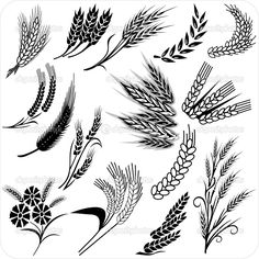 Barley Illustration Wheat ears collection for all