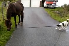 Dog Walks A Horse. Ha! Now you know how it feels to be on the other end of the leash!