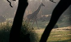 Sunrise Safari Breakfast Adventure: This 2-hour experience, exclusive to Guests staying in Kilimanjaro Club Level accommodations at Disney's Animal Kingdom Lodge, includes a 30-minute safari and breakfast.