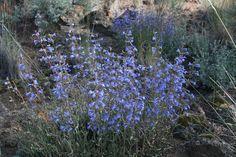 Penstemon humilis -- drought tolerant.  driveway