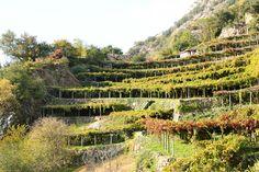 La viticoltura tradizionale canavesana è caratterizzata dalle tipiche tòpie (pergole); anche i vigneti di Carema sono pergolati sopra la viva roccia composta di eclogiti basiche levigate dal ghiacciaio pleistocenico