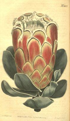 Protea speciosa L.