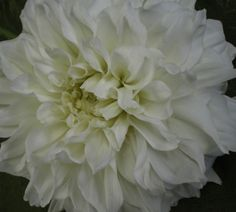 """Alabaster"" -  Bloom Type: Formal Decorative, Color: white, Bloom size: 8-10in, Height: 5ft"