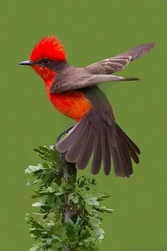 Vermillion flycatcher. A great picture to practice drawing and painting birds in unusual, but interesting poses.
