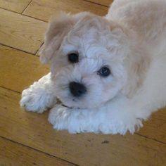 Alfie,my bichon puppy