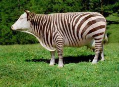 Zebrakuh, Genmanipulation, Zebrastreifen, Zebras, Zebra