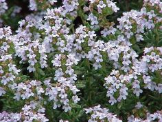 Thymus (tijm) there are many species and any of the low growing plants can be used as a ground cover. They need a sunny place and are very drought tolerant. Thyme Essential Oil, Organic Essential Oils, Herb Seeds, Garden Seeds, Home Garden Plants, Herb Garden, Herb Plants, Medicinal Plants, Herbs