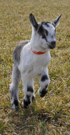 ► Something all baby goats do; jump! Baby goat Iliana jumping through the field. Check it out: http://gmsoap.co/1p6V5X7 #goats #cute