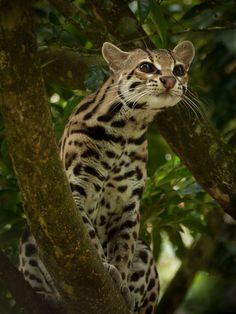The Margay resembles an ocelot, but is as small as a domestic house cat. The Margay also has relatively longer legs than an ocelot and is an excellent tree climber. Its territory stretches from Mexico down through Brazil. This near-threatened species is rarely seen, as it hunts only at night and stay hidden in the rain forest. (Jose Calvo). See: http://mentalfloss.com/article/25199/8-obscure-adorable-wildcat-species