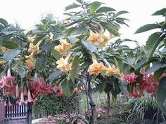 Brugmansia..one of my favorite plants