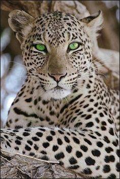 green eyed leopard