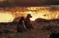 (Papio ursinus)Botswana - Okavango-Moremi -