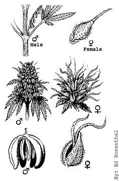 cannabis flower illustration - Google Search