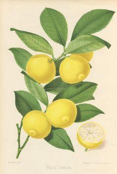 free cross stitch pattern, based on old illustration of branch of lemon tree.