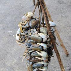 Resultado de imagen para cangrejo dominicano