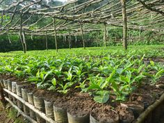 Coffee seedlings ready for planting in India