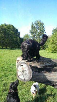 Harrisons Dogs . Dog walking services. Www.harrisons-dogs.co..uk