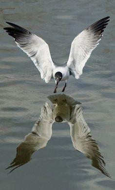 Gull reflection • photo: _Maji_ on Flickr