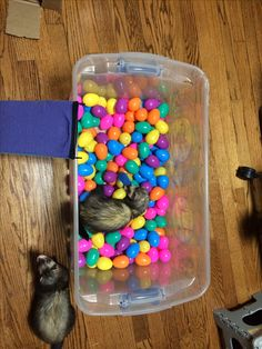 Ferret ball pit made from plastic Easter eggs. I got 144 of them from oriental trading for $10 The eggs are also great for balls to roll around when you put beads or beans in them. #ferret #toys